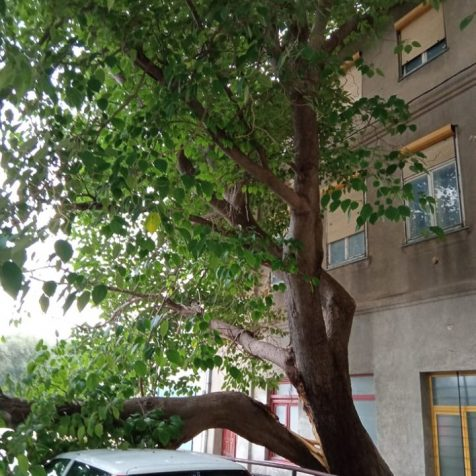 Foto: U starom gradu se odlomilo veliko stablogall-1